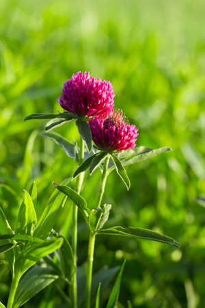 Flower of a clovers on thee green grass photo