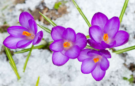 Violet spring crocuses in the snow photo