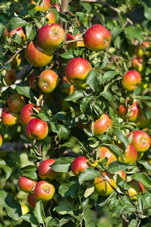 Ripe red apples on the tree . photo