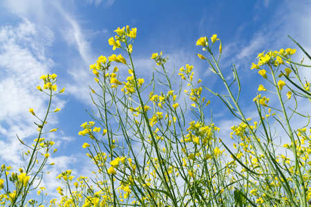 Rapeseed  yellow flowers on the blue sky photo