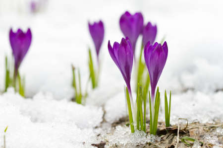 Violet spring crocuses on the snow photo