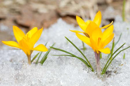 Yellow crocuses on the snow photo