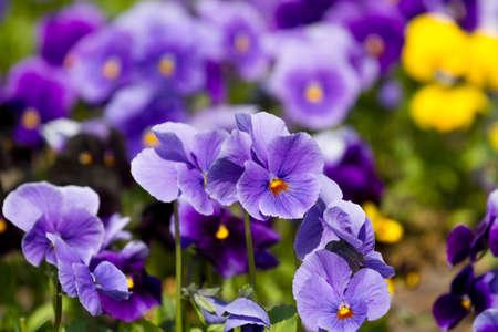 Viola flowers  in the summer garden Stock Photo