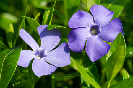 Periwinkle flowers on thee green grass photo