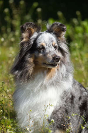 Blue Merle Rough Collie on the green grass photo