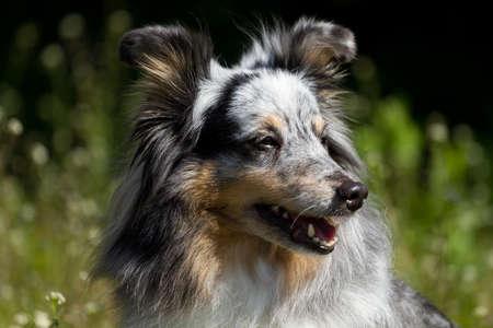 Portrait of Blue Merle Rough Collie photo