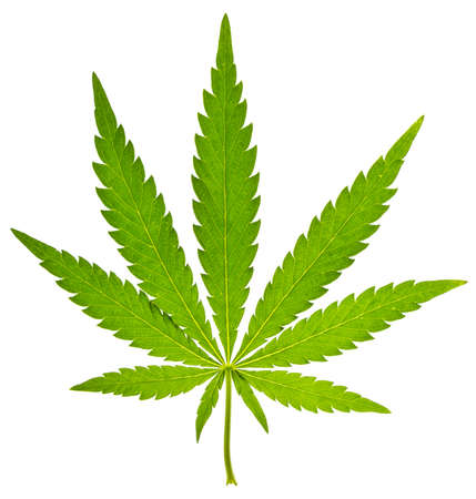 Green leaf of cannabis isolated on white Stock Photo