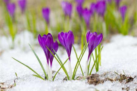 Beautiful violet crocuses on the snow photo