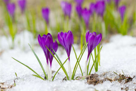 snow flowers: Beautiful violet crocuses on the snow Stock Photo