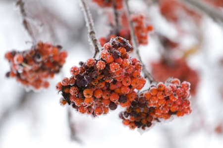 rowanberry: Rowanberry tree in the snow Stock Photo
