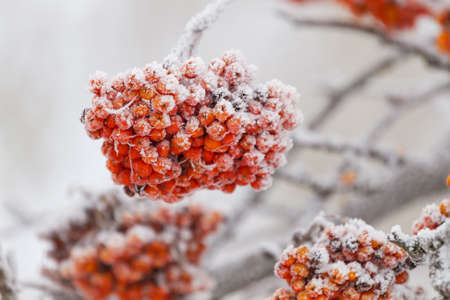 Rowanberry tree on the snow in winter photo