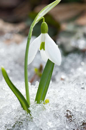 Spring snowdrop flowers in the snow photo