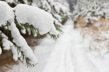 covered in snow: Pine tree covered snow in the forest