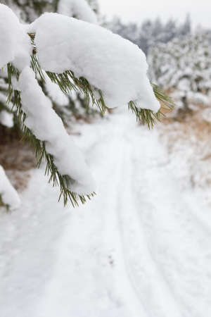 wintersport: Branch of Pine tree covered snow and cross country path