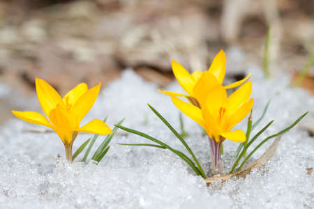 snow flowers: Blossom yellow crocuses on the snow