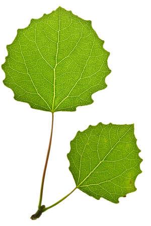 aspen leaf: Green aspen leaf isolated on white