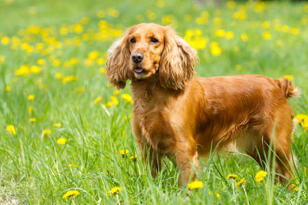Beautiful cocker spaniel on the green grass Stock Photo