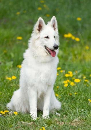 white shepherd dog: Swiss white shepherd dog on the grass