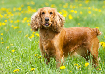 Englishl cocker spaniel on the  grass Stock Photo