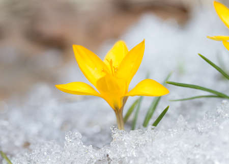 yellow blossom: Blossom yellow crocuses on the snow