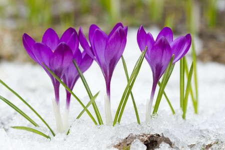 petites fleurs: Crocus violets sur la neige