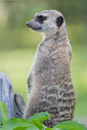 suricata: Meerkat (Suricata suricata) sitting on a stump