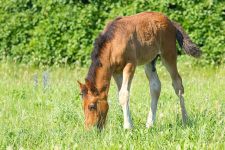 grazing: Horse baby pasture on the green grass.