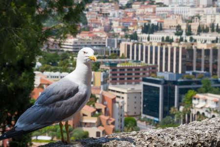 Albatross with Monte Carlo background in Monaco .