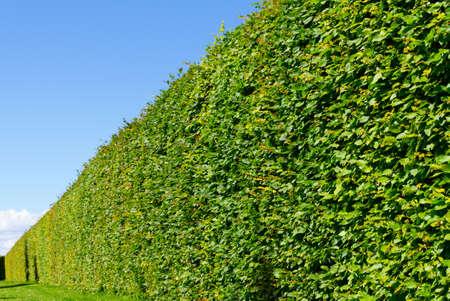 rundale: Wall maze of a green bush in Latvia