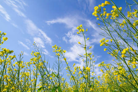 Blooming canola field on the blue sky