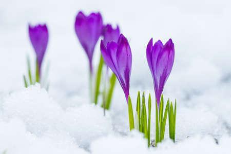 violeta: Violet flowers crocuses growing on the snow