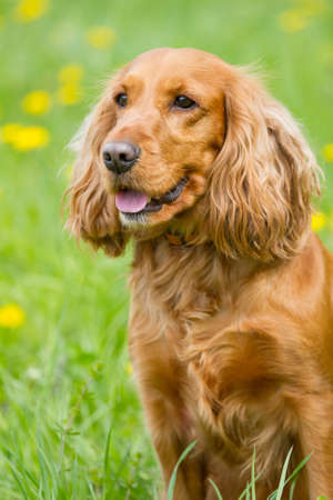 Red  cocker spaniel on the green grass