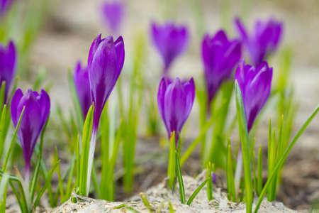 beautiful flowers: Beautiful crocuses flowers in a springtime