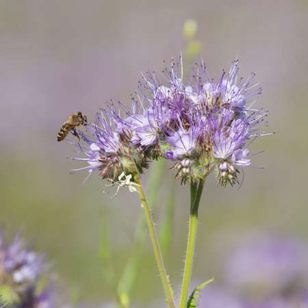Bees pollinate phacelia flowers in the summer day Stock Photo