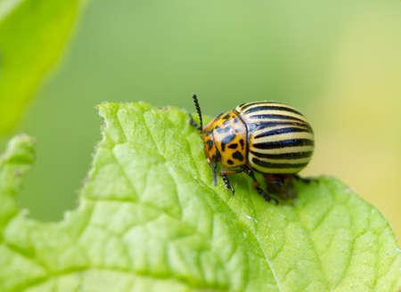 Colorado beetles on potato plant