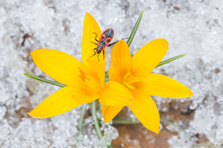 Yellow crocuses and beetle on the snow in spring