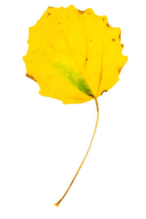Yellow aspen leaf isolated on white background Stock fotó
