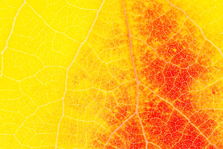 Background from yellow and red aspen leaf close up Stock fotó