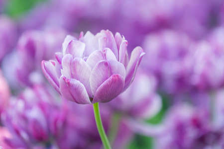 Lilac tulip on a beautiful background in spring
