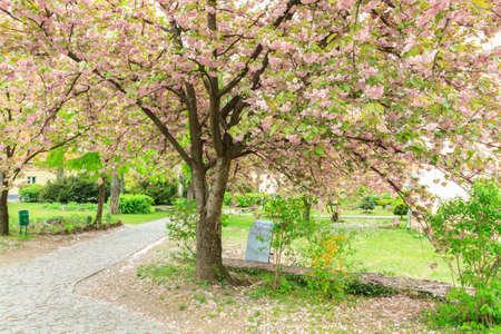 Sakura tree blossomed in the city of Uzhgorod, Ukraine