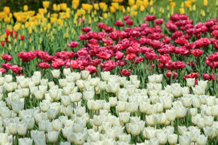 White and maroon tulips natural spring background