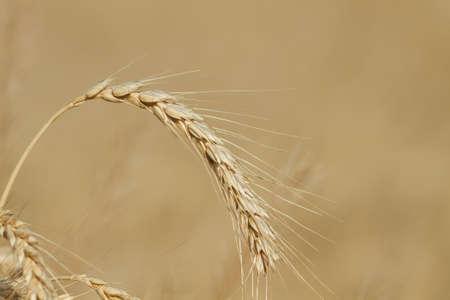 Lonely ripe wheat ear grow in the field.