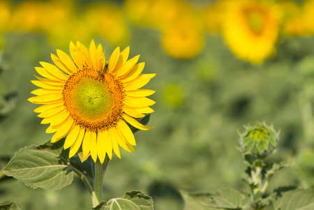 Beautiful yellow blooming sunflower on the field