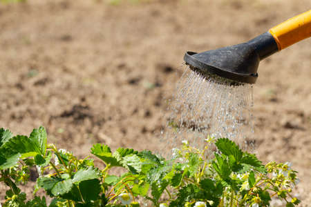 Farmer watering flowered strawberries from a watering can Archivio Fotografico