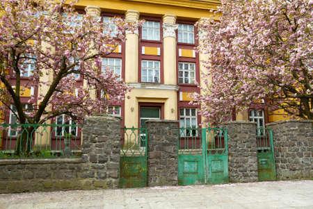 Blooming sakura in spring and the old city in Uzhgorod, Ukraine
