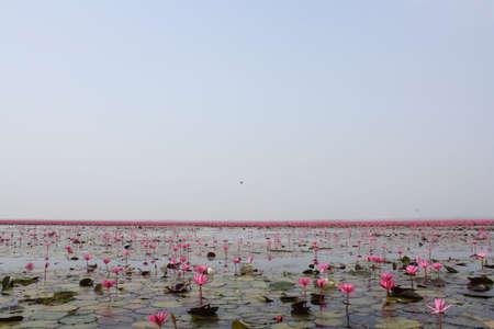 Garden flowers  Lotus
