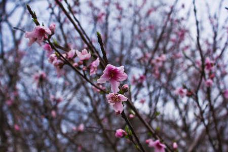 Elberta Peach Blossoms Фото со стока