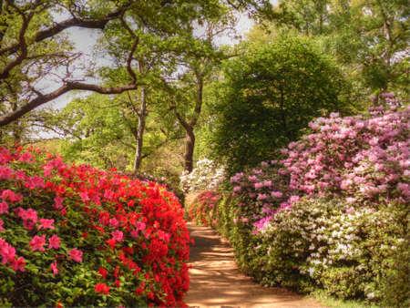 azaleas: The Isabella Plantation, Richmond Park, England
