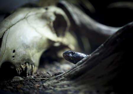 strong skeleton: black cobra and head skull of bull  Stock Photo
