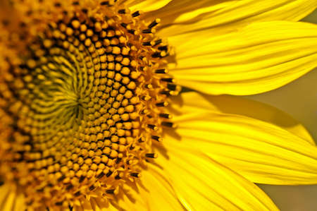 Closeup of petals and sunflower seeds  Stock Photo